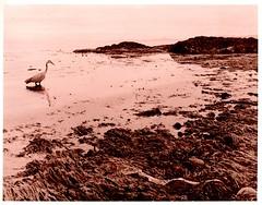 heron-priested shore (Isosceles Diego) Tags: heron shore lith ektamatic mamiya645 чапја corraghritheach garza reiher garça czapla 苍鹭 häger balıkçıl airone