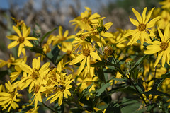 Wildflowers (Notley Hawkins) Tags: httpwwwnotleyhawkinscom notleyhawkinsphotography notley notleyhawkins 10thavenue flower floral dof depthoffield wildflower 2018 rural macro coopercountymissouri coopercounty september insects