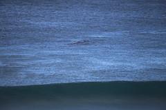 IMG_3617 (gervo1865_2 - LJ Gervasoni) Tags: surfing with whales lady bay warrnambool victoria 2017 ocean sea water waves coast coastal marine wildlife sealife blue photographerljgervasoni
