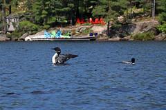 Muldrew Loons (scienceduck) Tags: 2018 september scienceduck ontario canada lake water muskoka lakemuldrew muldrewlake muldrew loon bird dock