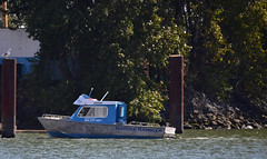 Seagull overlooks Hodder Rambler (D70) Tags: seagull overlooks hodder rambler nikon d750 150600mm f563 ƒ63 6041mm 1640 250 northarm fraserriver britishcolumbia canada sigma 150 600mm f5 63 dg os hsm contemporary pilings