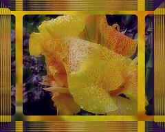 Just think of any negativity that comes at you as a raindrop falling into the ocean of your bliss. (Maharishi Mahesh Yogi) (boeckli (On Vacation)) Tags: flowers waterdrops raindrops rain regen rainy regentag frame photoborder rahmen plant pflanze outdoor flower blooms blossoms garden garten fleur flora plants hx9v canna yellow gelb spots flecken