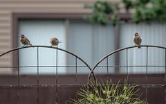 Is that squirrel gone yet?!! (Dotsy McCurly) Tags: birds sparrow sitting waiting trellis cute fun nature beautiful yard nj newjersey nikond750 nikonafsnikkor200500mmf56eedvr