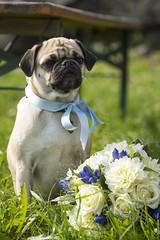 Don't touch the bride's flowers ... (Martin Bärtges) Tags: hund roses blossoms blumen brautstraus flowers hochzeit marriage nikonfotografie nikon attention dog