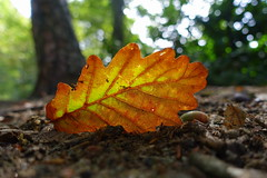 Just a leaf (brittajohansson) Tags: leaf oak oakleaf autumn autumncolours wood woods forest tree trees acorn acorns ground orange colourful colours