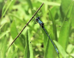 Emerald Spreadwing Damselfly, at Paige Meadows. (Ruby 2417) Tags: emerald spreadwing damselfly odonata insect wildlife nature tahoe paige meadows green