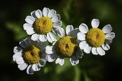 Daisies (karl_eschenbach) Tags: flowers macro albuquerquebiopark albuquerque newmexico nm botanicgardens