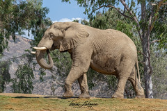 Msholo (ToddLahman) Tags: msholo thefearlessone bull mammal male outdoors portrait photooftheday beautiful sandiegozoosafaripark safaripark escondido elephants elephantvalley elephant canon7dmkii canon canon100400 closeup