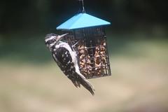 Hairy Woodpeckers (Saline, Michigan) - August 2018 (cseeman) Tags: hairywoodpecker woodpecker suet feeder birds saline michigan backyard suetfeeder summer hairysaline082018