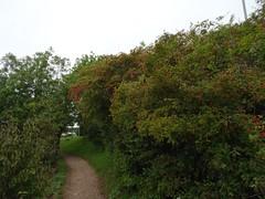 Hips and haws (Phil Gayton) Tags: path trail grass bush foliage fruit rose hip haw hawthorn riverside walk river dart totnes devon uk