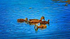 _1100126_a-1 (ron_kuest) Tags: ronkuest baskettsloughnationalwildliferefuge ducks