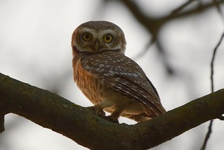 Spotted Owlet in Dudhwa Tiger Reserve