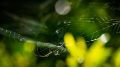 Web of Light (scamart1st) Tags: web spider bokeh light sunruse colour 500mm nikon 200500 florida circleb nature reserve golden green weave