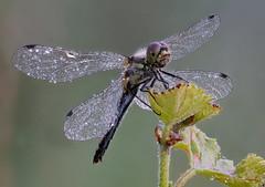 """dragonfly"" (bernardo7777) Tags: jörg bernhard klemmer breckting bkt libelle g9 stacking 6k zuiko 60mm olympus outdoor focusbrackting wildlife insekten"
