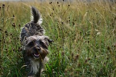 Poppy at Halnaker wind mill (Angels 104) Tags: dog grass poppy running halnaker pet happy terrier