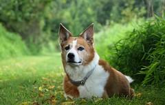 The Dumb Dog (Kerri Lee Smith) Tags: carsonwoods woods path summer canine mixedbreed mutt rescuedog lucy odd eyed oddeyed heterochromia