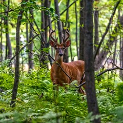 (Daniel000000) Tags: deer whitetail buck wild forest new nature old animal green tree trees summer wisconsin schmeeckle stevens point art bokeh dslr nikon d850