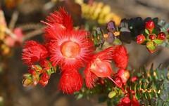 Verticordia etheliana -Myrtaceae sp -Kings Park Perth (1) (ailognom2005) Tags: perth westernaustralia australia flora flowers florafauna verticordiaetheliana myrtaceaesp kingspark red redflowers naturalhistory