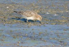 Baird's Sandpiper (jimbobphoto) Tags: nature migration arcticbird arctic migrant mudflats bird sandpiper water mud pennsylvania