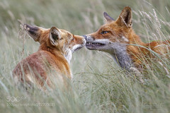 It started with a kiss... (KevinBJensen) Tags: red fox foxes wbpa kiss model models animal pics photography photograph images animals wild free wildlife photographer mammal nature dunes netherlands grass grassland