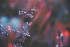 De flor a  Semilla; el ciclo de la vida (Conserva tus Colores) Tags: conservatuscolores chile chilelindo photographerontumblr photographersoninstagram detalles details lovenature canon canongirl canonchile love naturaleza naturelovers nature vida vidanatural poesiavisual poetry flowers flores semillas