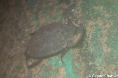 Ergaula cf. silphoides, a female (GeeC) Tags: animalia arthropoda blattodea cambodia cockroaches corydiidae corydioidea ergaula insecta kohkongprovince nature tatai ឃុំឫស្សីជ្ kohkong ឃុំឫស្សីជ្រុំ kh
