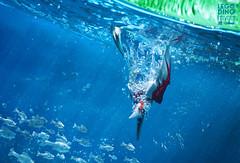 PTERANODON FISHING LEGO DINO (Shobrick) Tags: shobrick lego dino dinosaurs jurassic pteranodon underwater fishing macro toy photography canon 5d markiii fish