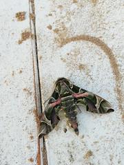 Sfinge dell'oleandro (Andrea Lugli) Tags: moth falena butterfly farfalla daphnis nerii
