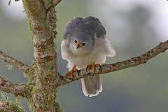 Grey Goshawk (Alan Gutsell) Tags: grey goshawk greygoshawk raptor birdofprey hawk australianbird australia queenslandbirds queensland bird photo canon wildlife nature alan