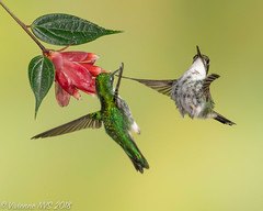 Back off! (SF knitter) Tags: bootedrackettail ecuador tandayapalodge bird cloudforest female flower hummingbird