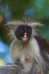 IMGP1606 Zanzibar red colobus (Claudio e Lucia Images around the world) Tags: jozaniforest zanzibar tanzania red colobus redcolobus monkey pentax pentaxk3ii sigma sigma50500 bigma pentaxart sigmaart grooming mother young animale