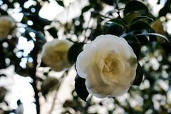 White Rose (Jose Rahona) Tags: flor flores flowers rosa rosas rose white leaves trees garden jardin