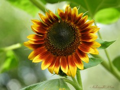 """""""Let Your Faith Be Bigger Than Your Fears"""" (NaturewithMar) Tags: sunflower quote nature wisconsin"""