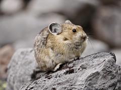 American Pika (brandannorman) Tags: pika rockies mountain mammal fur grey rock banff mountains