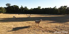 En pleine nature !!! (François Tomasi) Tags: moutons mouton animal françois tomasi françoistomasi puilboreau