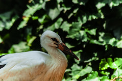 CICOGNA    ----    STORK (cune1) Tags: uccelli birds animali animals alberi trees acqua water natura nature italia parcodelticino