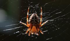 Spider backlit (dorian.blake@btinternet.com) Tags: spider hanging web webs legs sunlit backlight insect arachnid nature scary garden