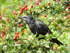 Starling (PhotoLoonie) Tags: bird wildbird starling wildlife nature