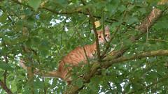 Dans les arbres (pascal548) Tags: chat