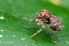 Crab spider (cf. Emplesiogonus sp.) - DSC_2875 (nickybay) Tags: africa madagascar macro andasibe voimma crab spider thomisidae emplesiogonus