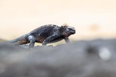 Marine Iguana (wn_j) Tags: wildlife wildanimals wildlifephotography nature naturephotography galapagos iguana marineiguana canon canon1dxii canon400mm reptiles reptile lizard