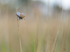 common blue on a stick (marianna_armata) Tags: commonblue butterfly bokeh grass soft muted autumn summer macro mariannaarmata
