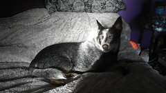 (Cheeseisboss) Tags: kenny indoor pet cattle dog