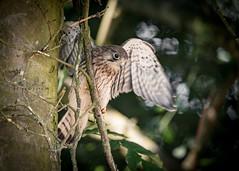 Kestral Chick wing practice (Ruth S Hart) Tags: kestral chick d750 nikon essex uk aperturepriority garden wildlife motionblur lowlight ©ruthshart