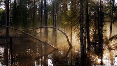 swamp-forest-morning-mist_00450044 (tanyapavlicapschyrembel) Tags: