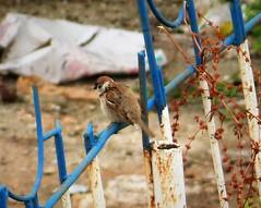 Eurasian Tree Sparrow. Passer montanus (gailhampshire) Tags: eurasian tree sparrow passer montanus
