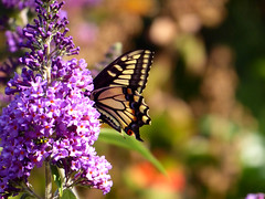 Swallowtail Butterfly (timber1212) Tags: coyotehills fremont california butterfly swallowtail garden
