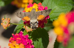 Hummingbird Hawk Moth I (PuffinArt) Tags: insect moth traça traçacolibri macroglossumstellatarum mariposaesfingecolibri hummingbirdhawkmoth nikon d500 nikkor 18200mm vr puffinart vandamalvig lisboa portugal