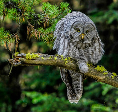 Great Gray Owl Stretching (Dick Shaffer) Tags: owl bird tree forest greatgray eyes leg wings feathers stretching perch perched staring looking attention attentive watching moss limb pine yellowstone wyoming park