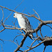 Elanus caeruleus (Black-shouldered Kite)